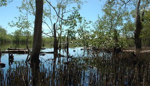 Lagune au milieu d'une forêt de mangrove