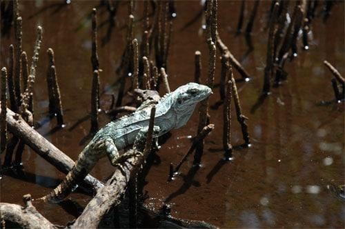 Cet iguane vit uniquement dans la mangrove à Utila