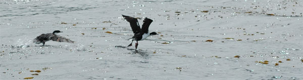 Cormorans du Canal de Beagle (photo L.D)