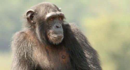 Bénévole dans un sanctuaire de chimpanzés en Espagne