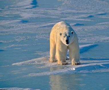 Une zone protégée pour les ours polaires en Alaska