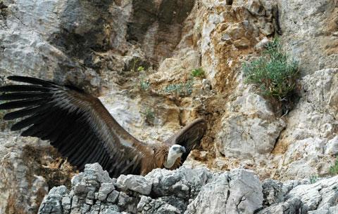Tour du monde d'une éco-volontaire : les vautours de Croatie (3/4)