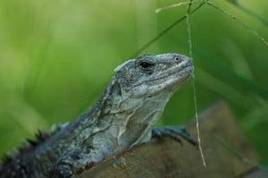 Tour du monde d'une écovolontaire : la maison aux iguanes au Honduras (5)
