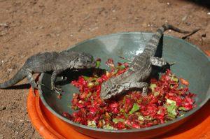 iguanes à la station de recherche sur les iguanes au Honduras