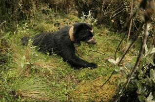 écovolontaire auprès des ours andins en Equateur