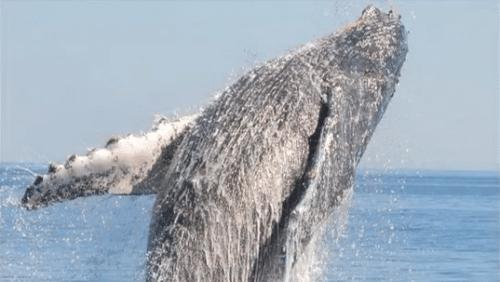 Sauvetage d'une baleine dans la mer de Cortez