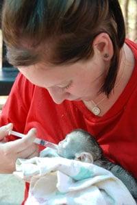 Ecovolontaire dans un sanctuaire des singes vervets en Afrique du Sud