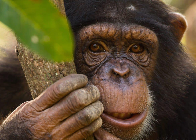 le centre de conservation pour chimpanz s cherche des covolontaires blog de voyage cap sur la. Black Bedroom Furniture Sets. Home Design Ideas