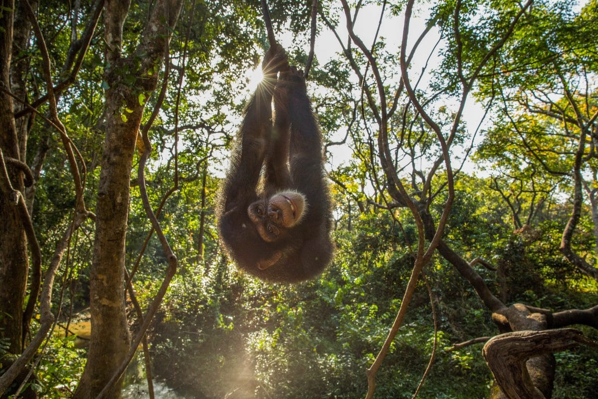 guin u00e9e conakry   le centre de conservation pour chimpanz u00e9s