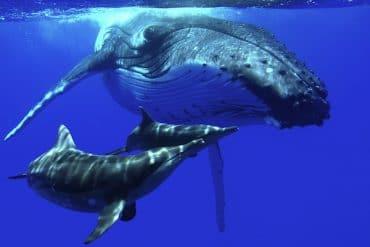grand dauphins