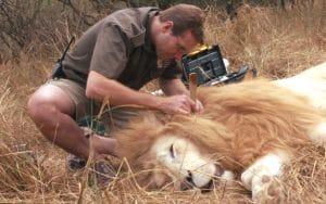 volontaire auprès des lions blancs