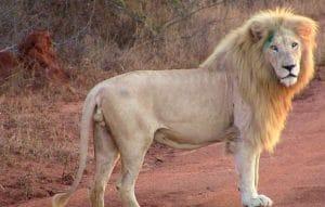 Le lion blanc sauvage.