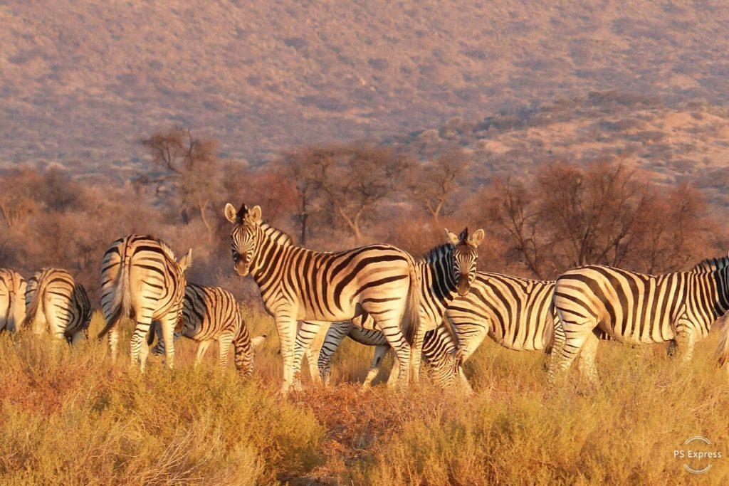zebre afrique namibie
