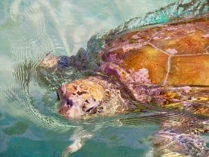 tortue marin moorea