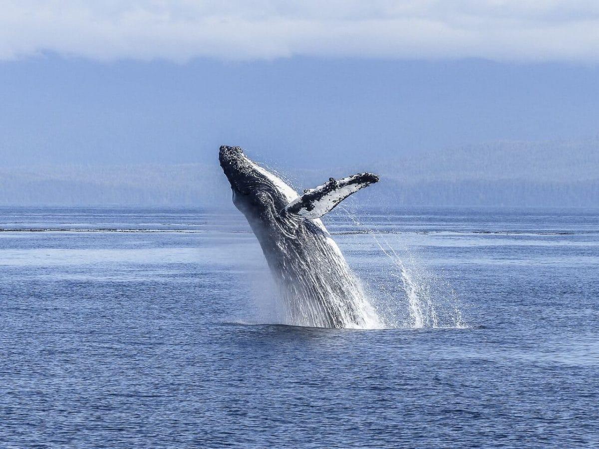 mozambique baleine