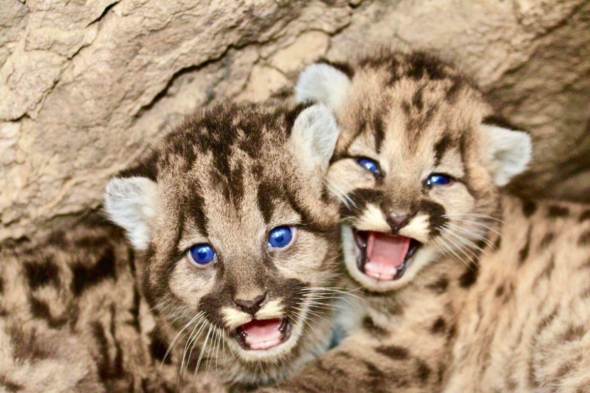 Argentine : engagez vous auprès des pumas | Blog voyage Cap