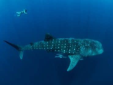 requin baleine nosy be