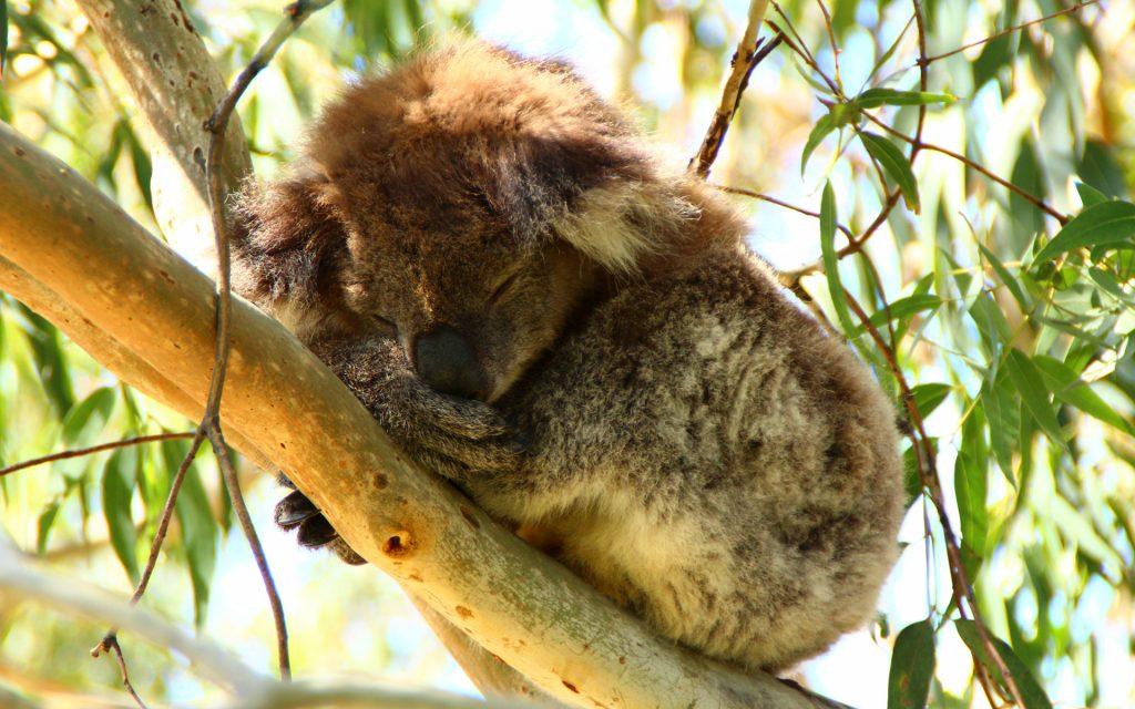 photo-koala