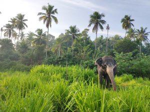 elephants-sri-lanka