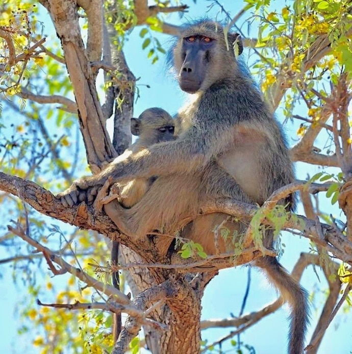 famille-babouin