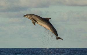 Les dauphins de Tiputa